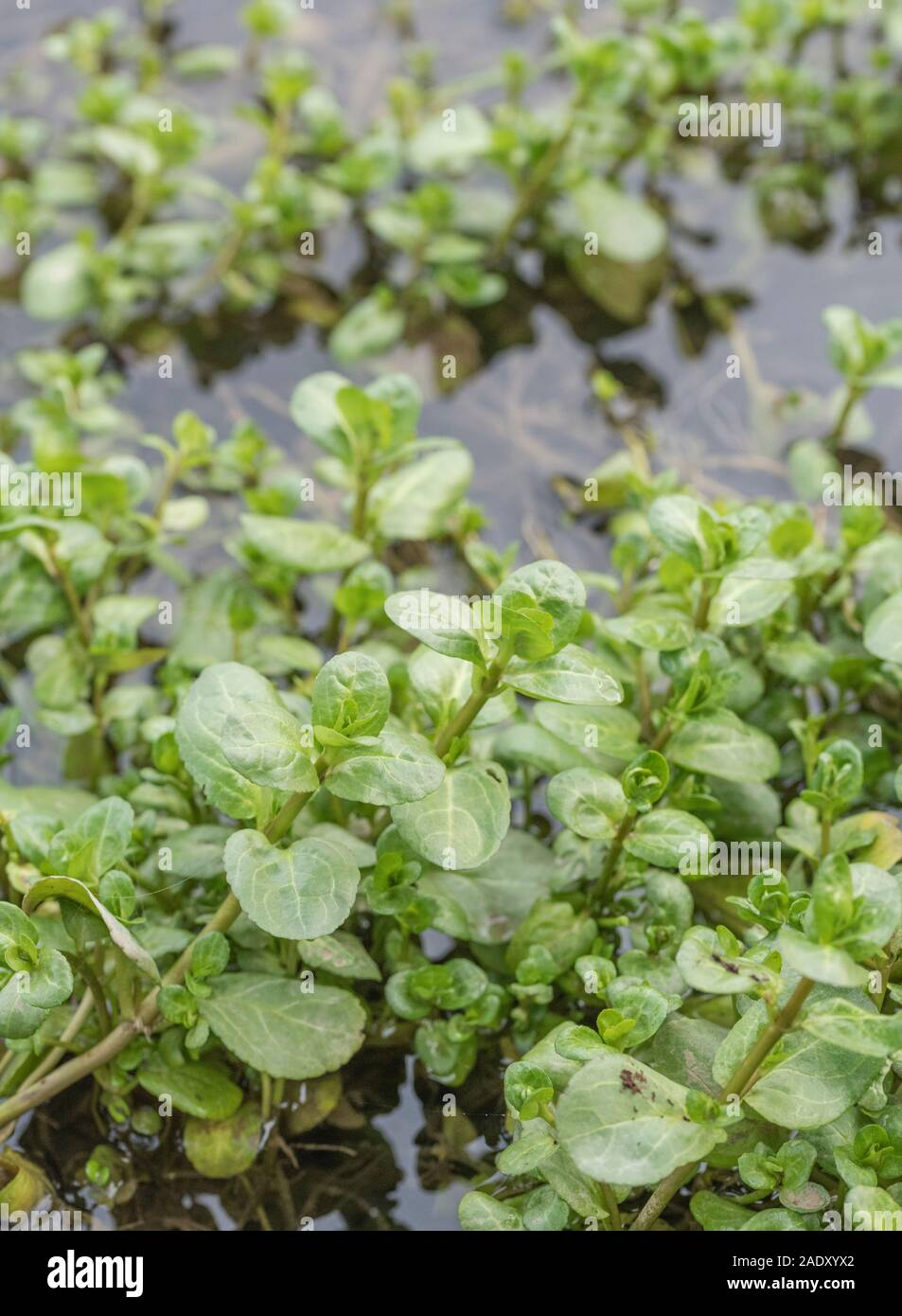 Brooklime / Veronica beccabunga leaves growing in flooded freshwater drainage ditch. Foraged & survival food containing Vitamin C. Once used in cures Stock Photo