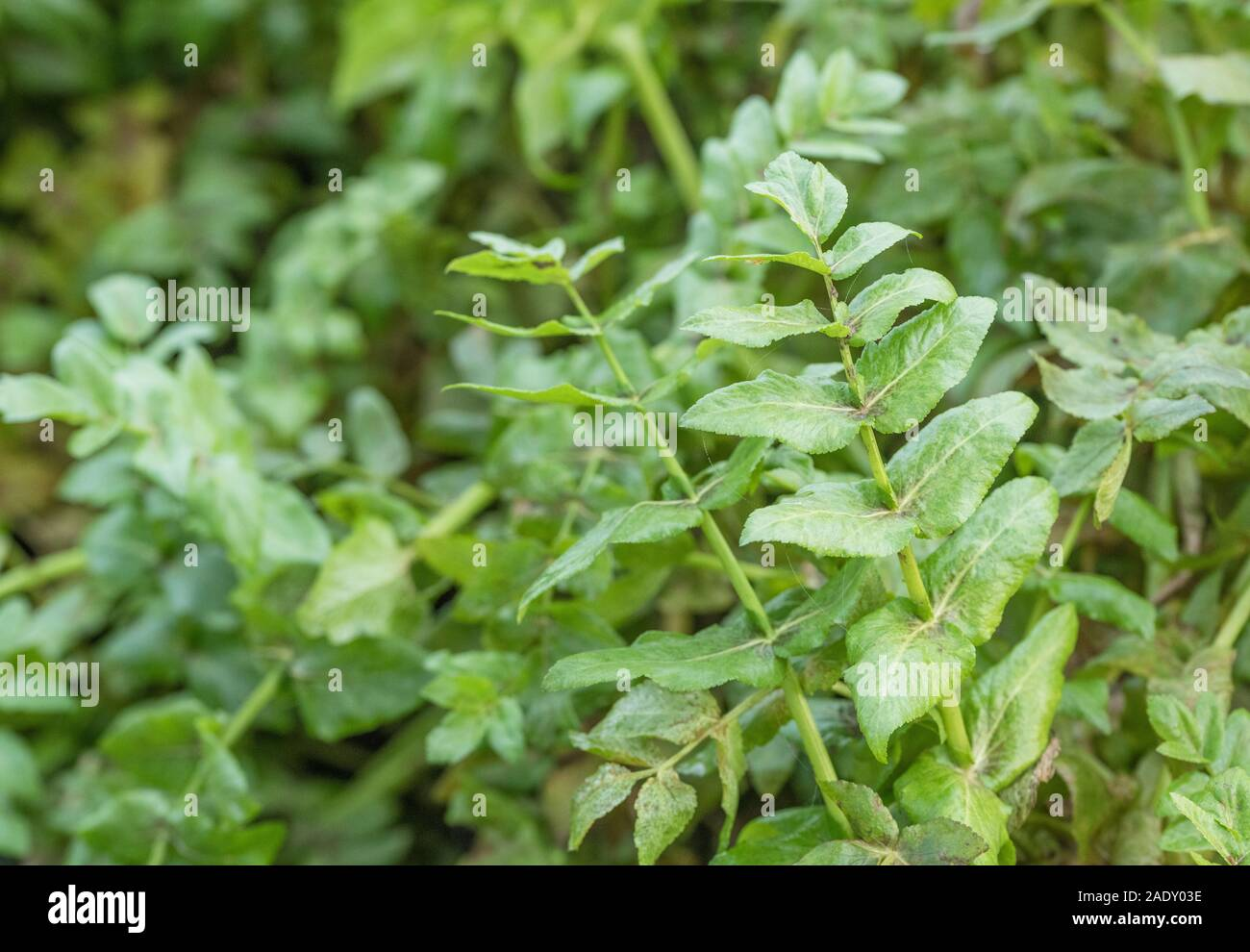 Leaves of drainage channel aquatic weed. Thought to be Lesser Water-Parsnip / Berula erecta. Obstruction concept, blockage, aquatic plants UK Stock Photo