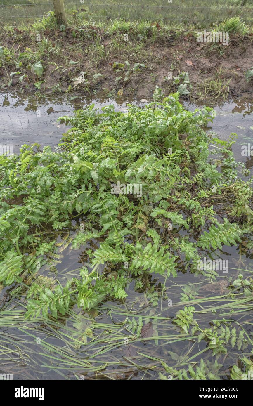 Patch of weeds blocking farmland drainage channel. Believed to be Lesser Water-Parsnip / Berula erecta. Obstruction concept, blockage, overgrown. Stock Photo