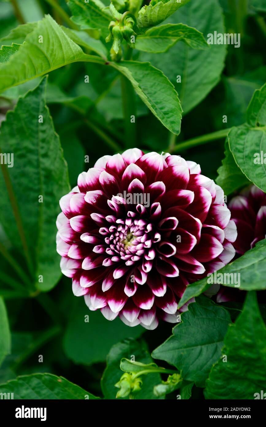 dahlia edinburgh,decorative dahlias,Bicolored,maroon white flower,flowers,flowering,RM Floral Stock Photo