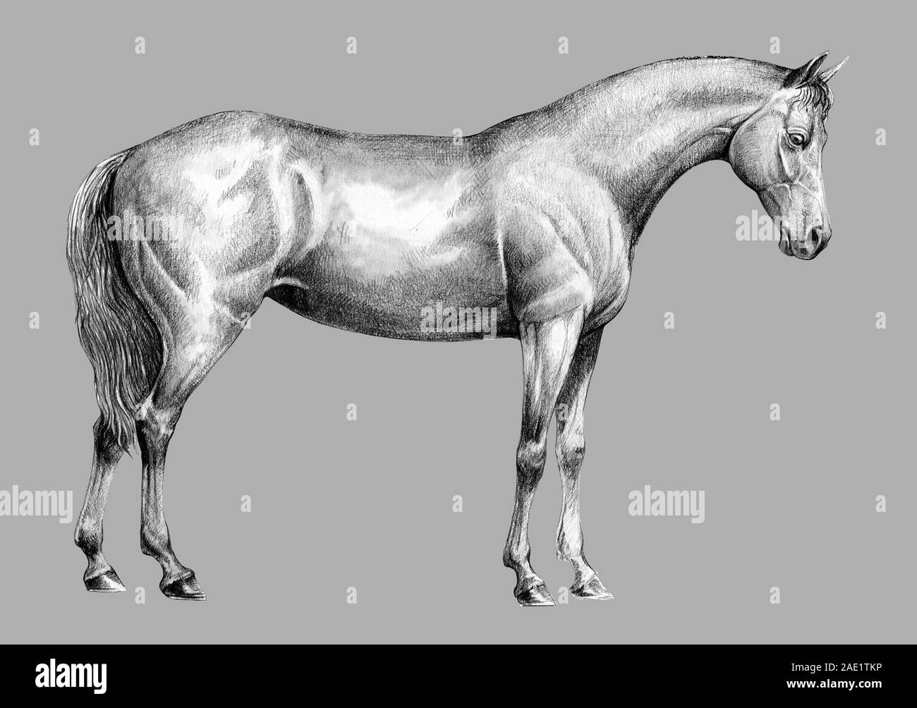 Beautiful Horse Pencil Portrait Of A Horse Equine Drawing Stock Photo Alamy