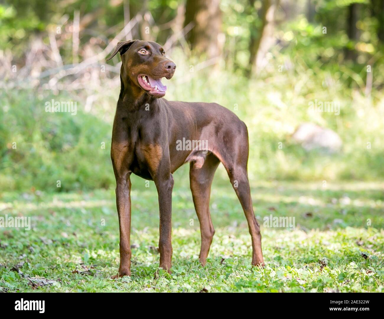 A Red Doberman Pinscher Dog With Natural Uncropped Ears Standing Outdoors Stock Photo Alamy