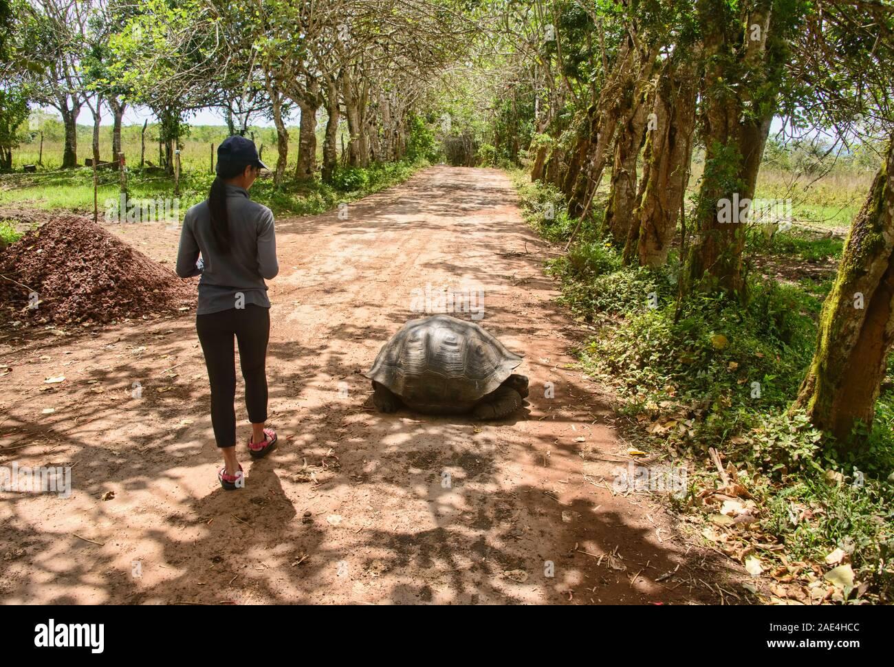 Galapagos giant tortoise (Chelonoidis nigra), El Chato Reserve, Galapagos Islands, Ecuado Stock Photo