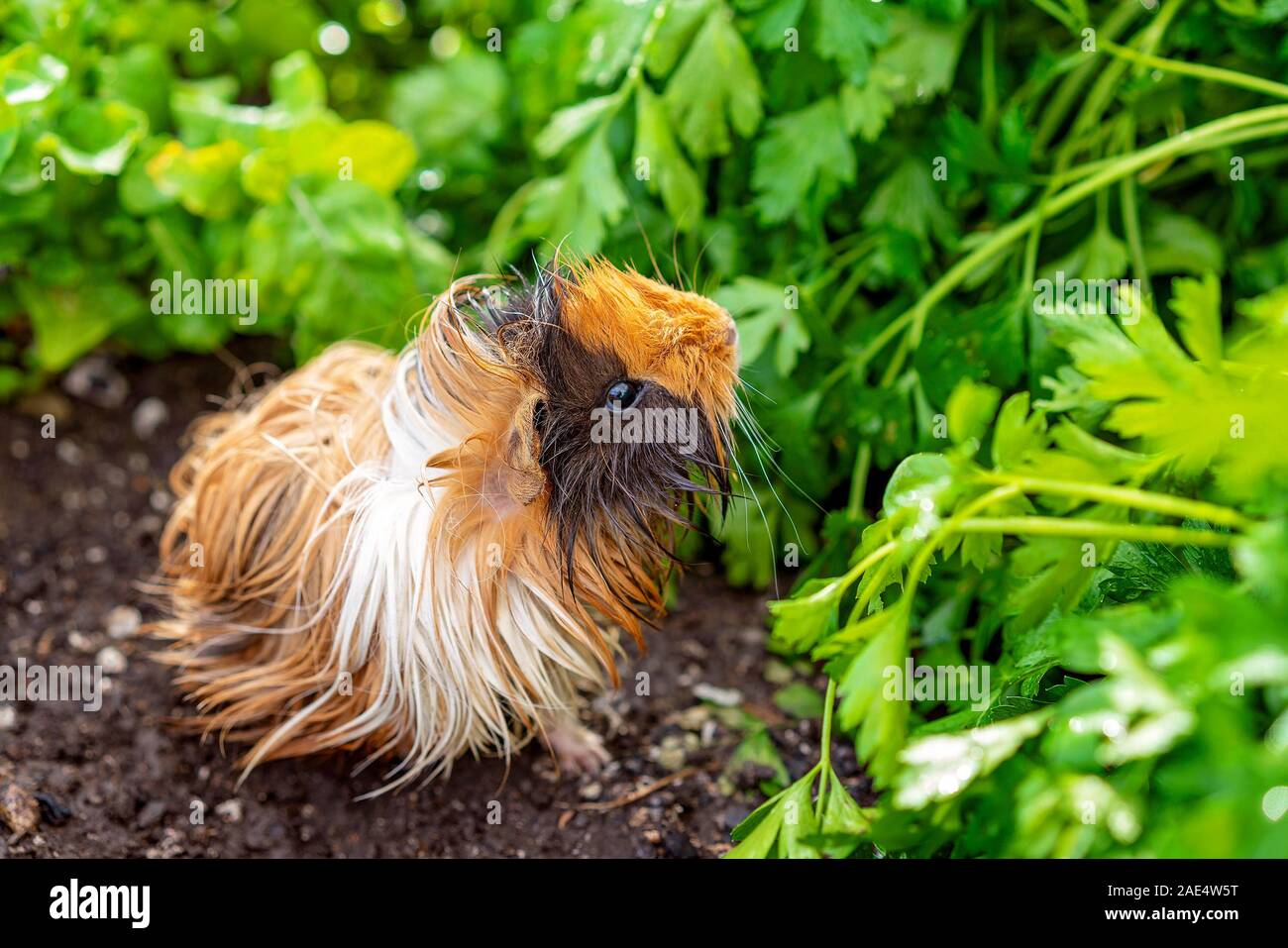 Picture of: A Cute Guinea Pig Also Know As A Cavy Exploring A Garden Bed Of Parsley While His Fur Becomes Wet With Morning Dew Stock Photo Alamy