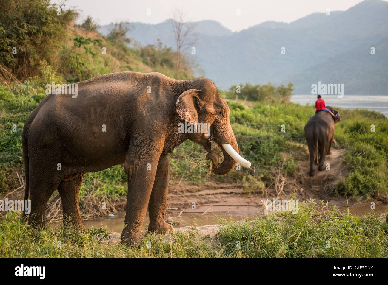 Luang Prabang Elephants Camp, Luang Prabang, Laos, Asia. Stock Photo