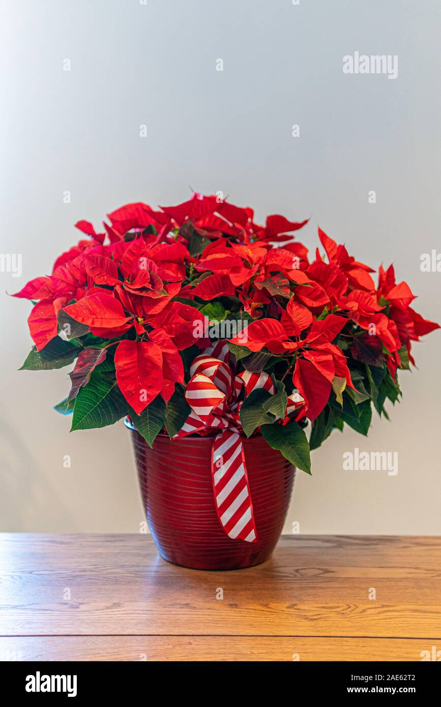 Red Poinsettia Flower Arrangement For Christmas Decorations The Christmas Flower Stock Photo Alamy