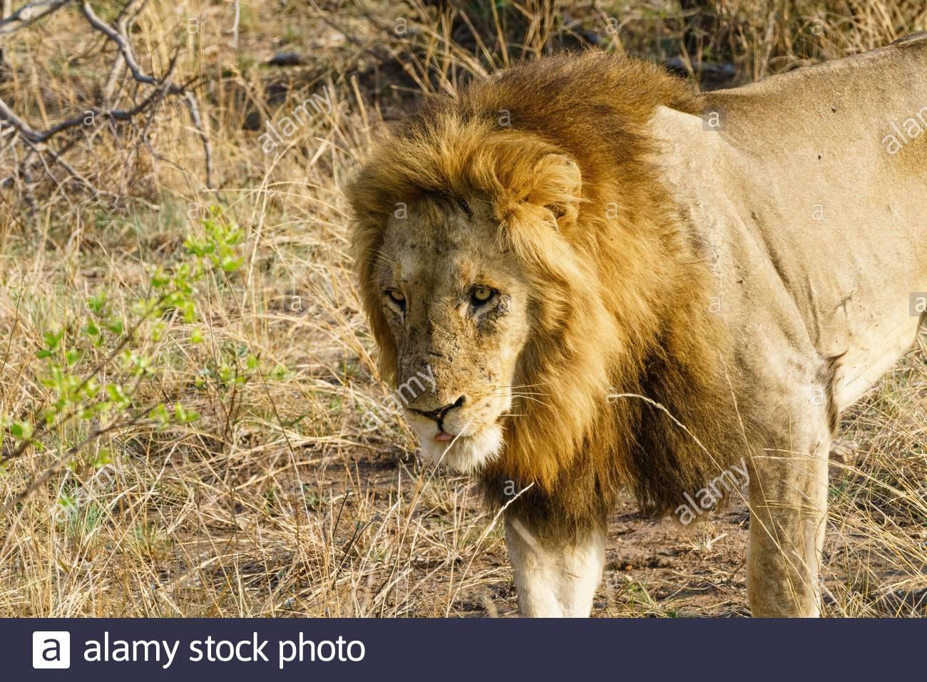 Lion (Panthera leo) taken in South Africa Stock Photo