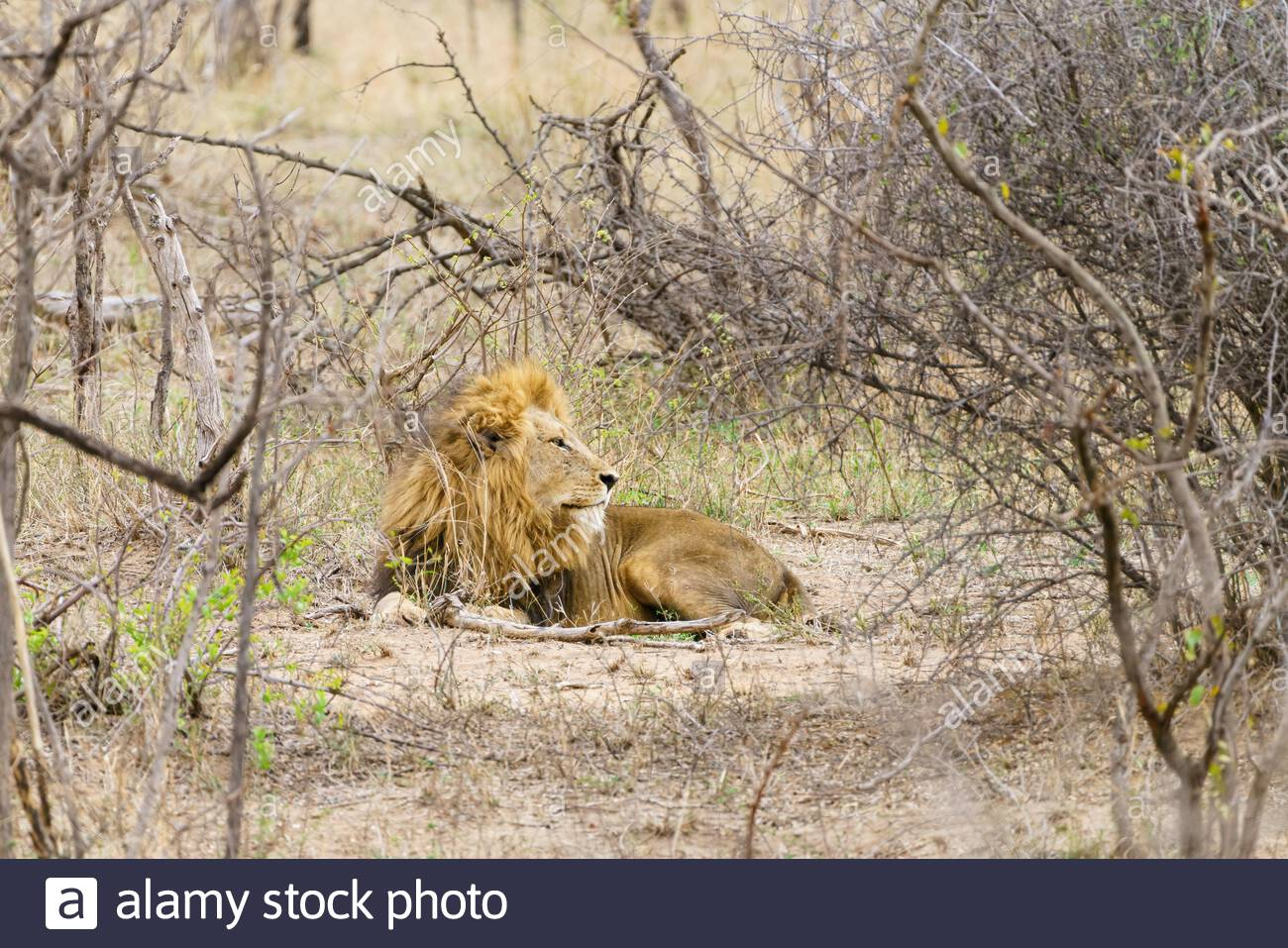 Male Lion (Panthera leo) resting in bush,  taken in South Africa Stock Photo