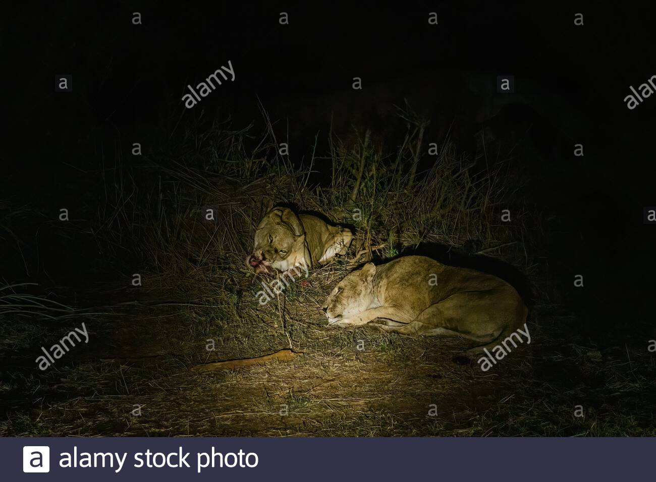 Two female Lions (Panthera Leo) eating a kill at night, in Kruger Park South Africa Stock Photo