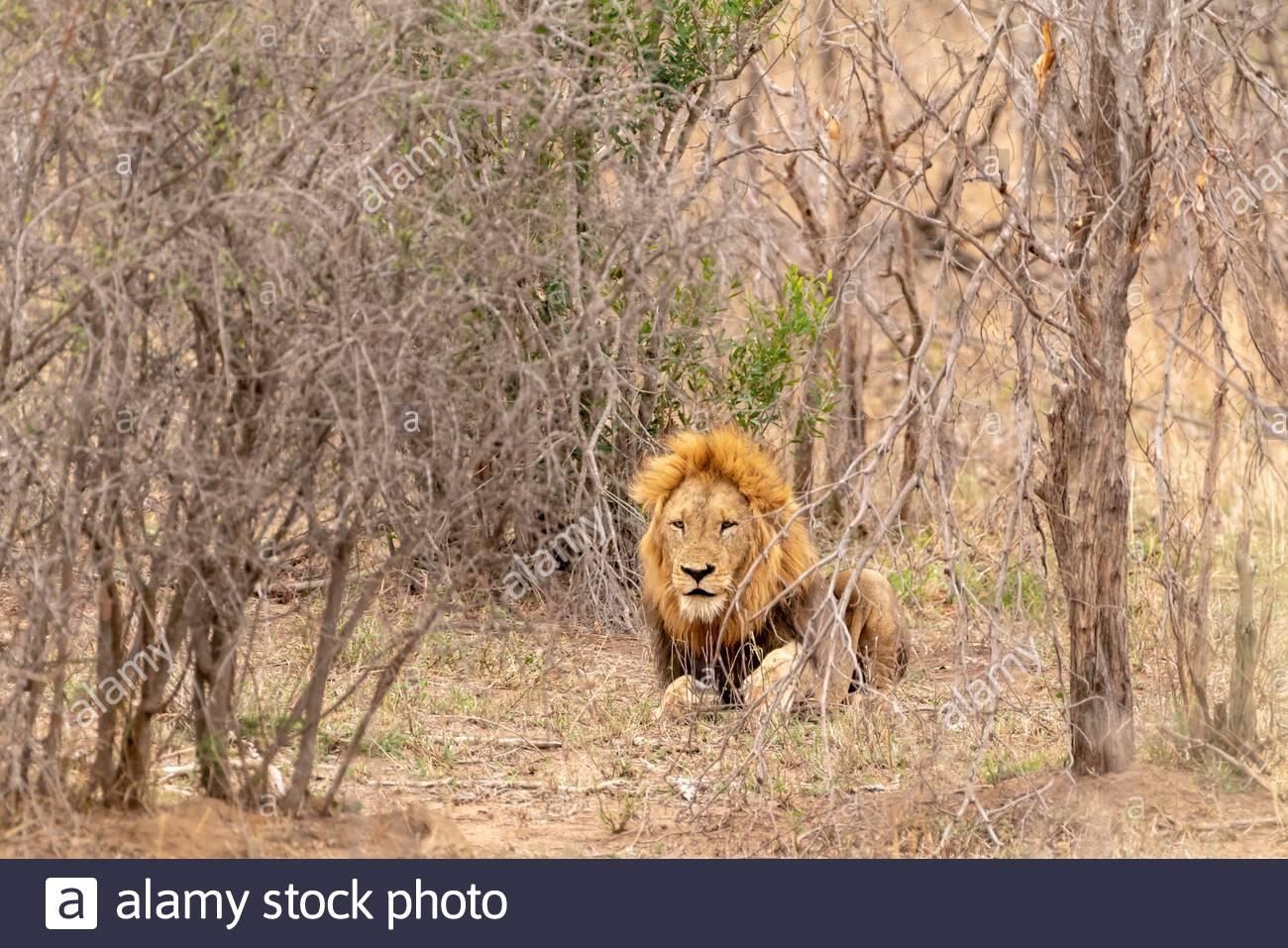 Injured Lion (Panthera leo) nursing it's foot, taken in South Africa Stock Photo