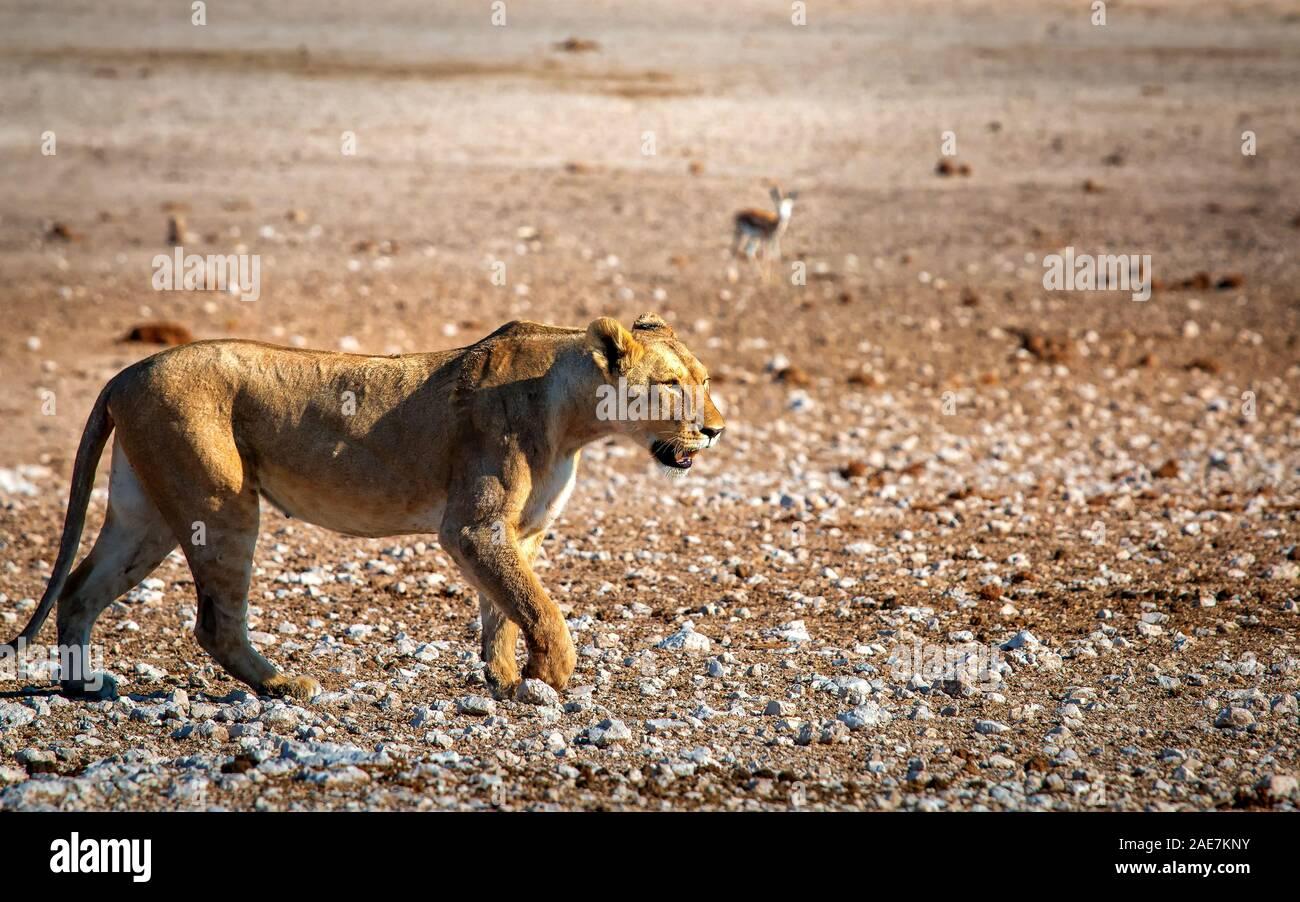 lion female walking through stony terrain Stock Photo