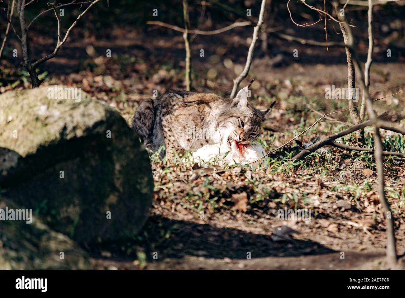Lynx eating. Lynx with prey in the mouth. Lynx caught prey and eats Stock Photo