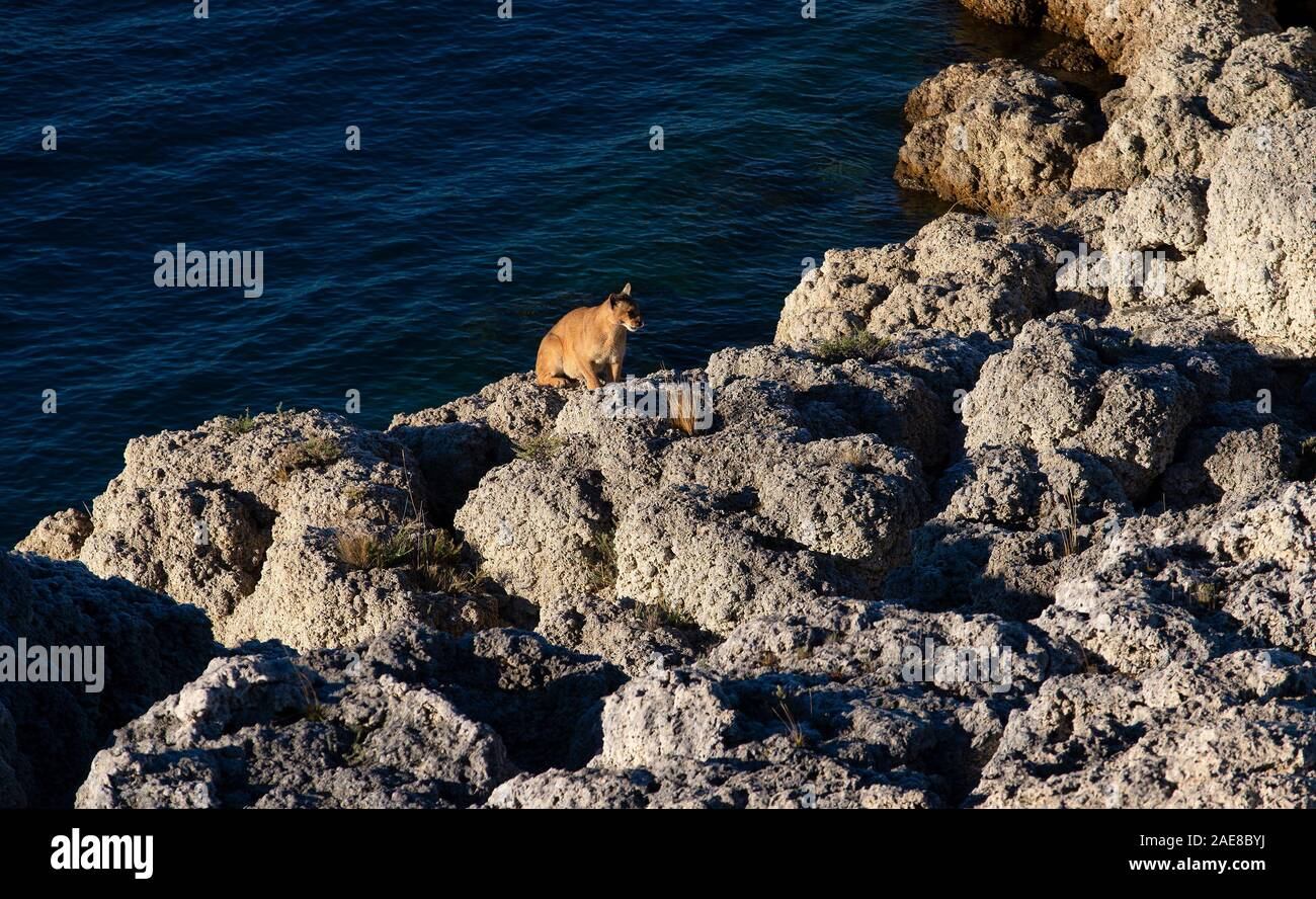 Adult female Patagonian Puma sitting by edge of lake after drinking Stock Photo