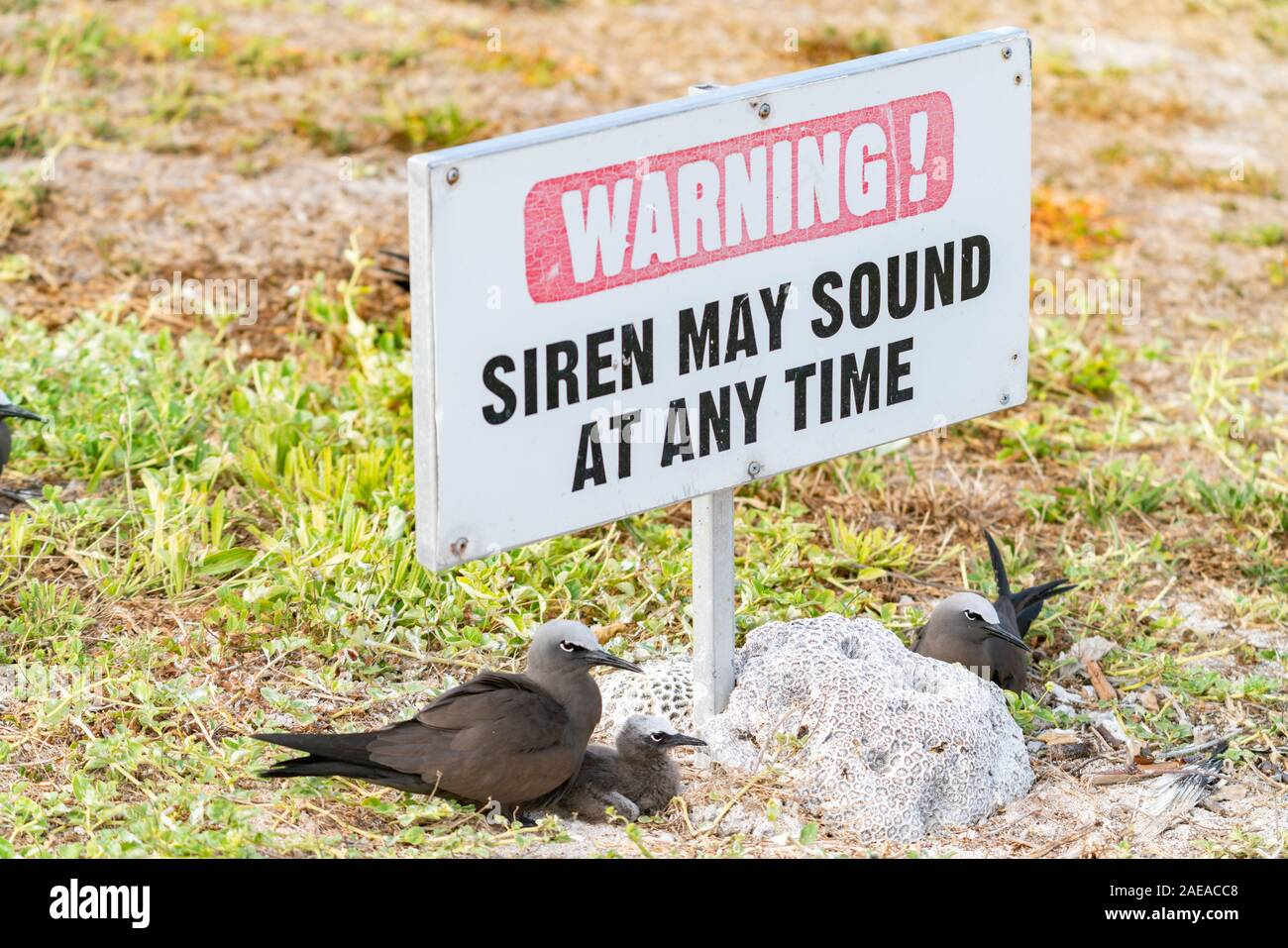 Common noddy nesting against lump of coral and under siren warning sign. Stock Photo