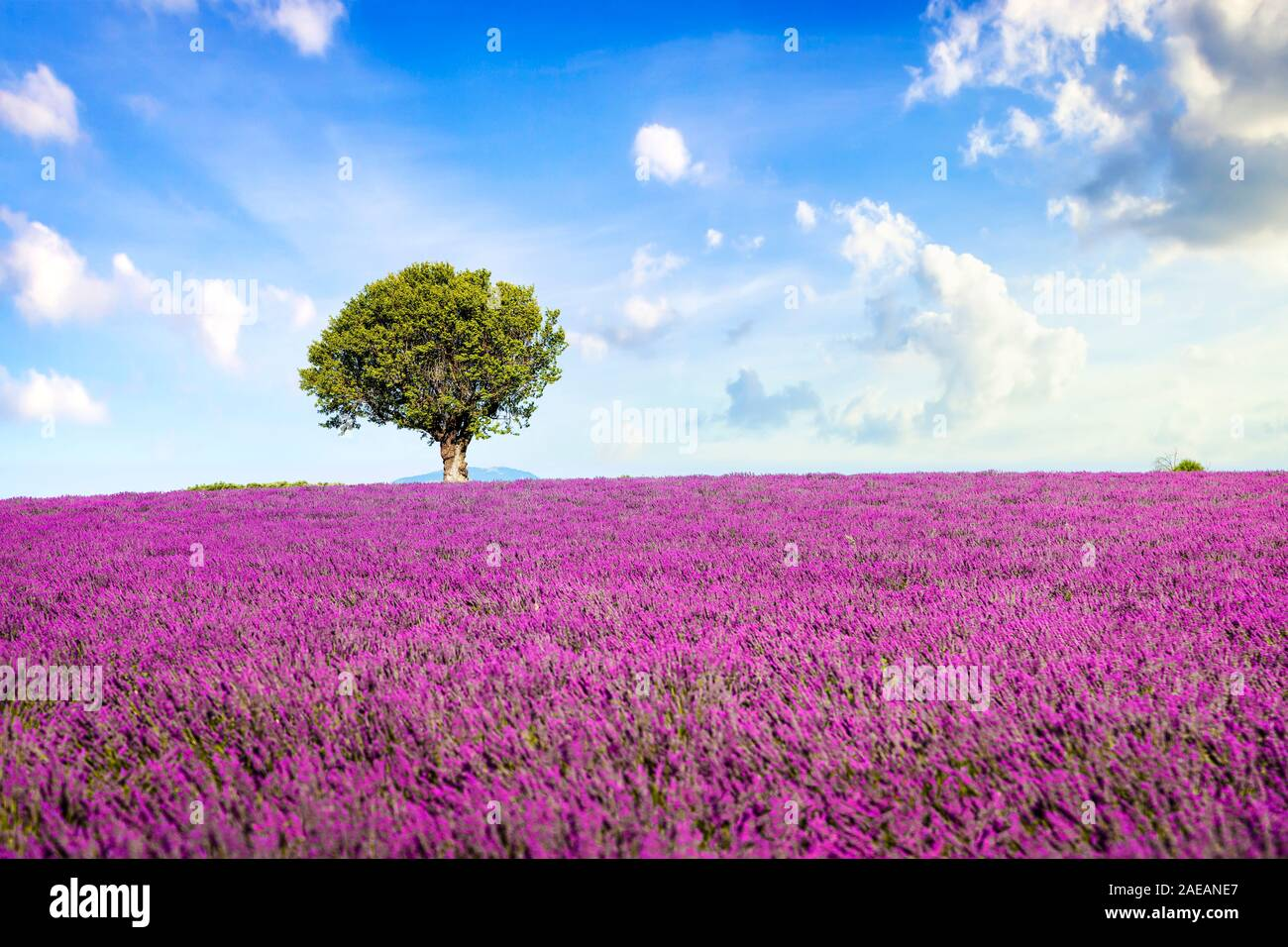 Lavender Flowers Blooming Field And A Lonely Tree Valensole