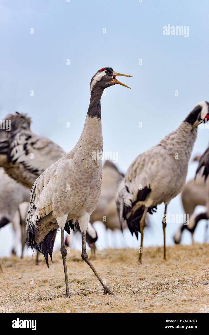 Eurasian crane is communicating to the rest of the group Stock Photo