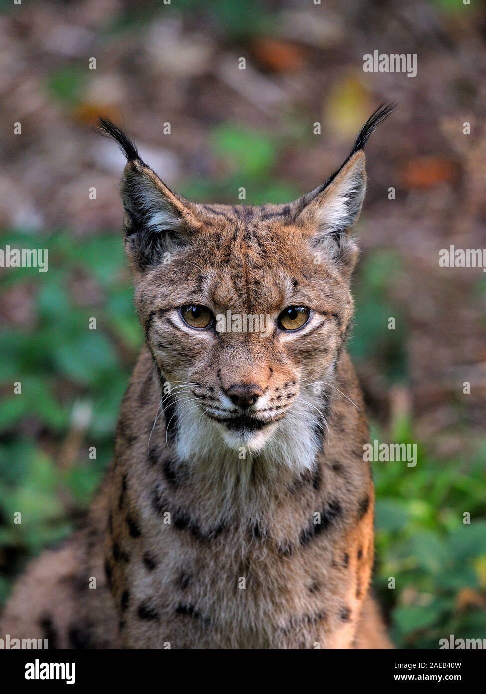 Lynx (Bayerischer Wald, Germany). Luchs (Bayerischer Wald, Deutschland). Stock Photo
