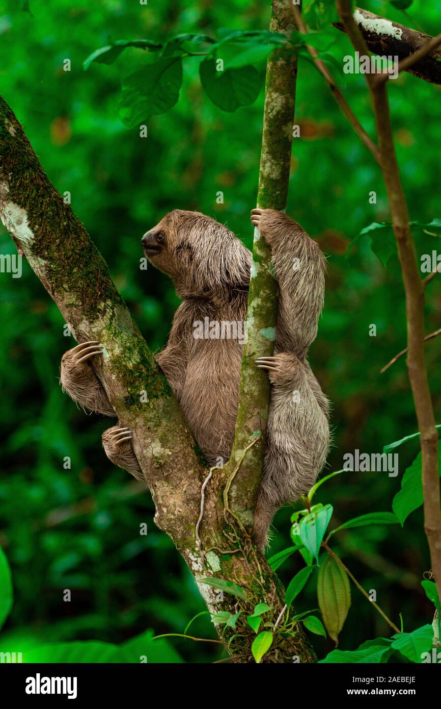 Brown-throated Three-toed Sloth (Bradypus variegatus), at the Manuel Antonio National Park, (Parque Nacional Manuel Antonio), Costa Rica Stock Photo
