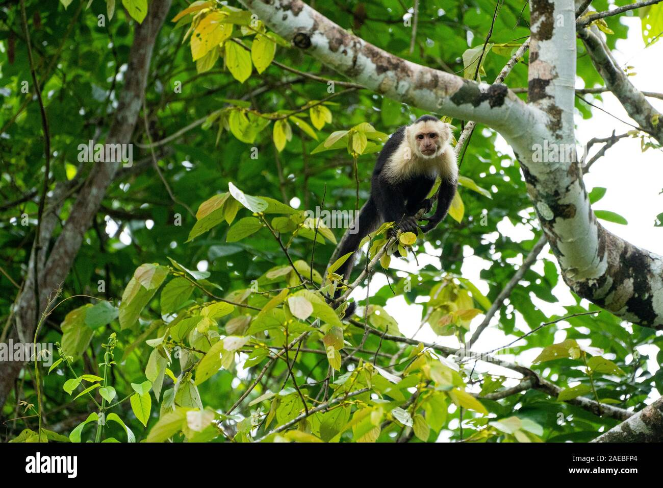 The Colombian white-faced capuchin (Cebus capucinus), also known as the Colombian white-headed capuchin or Colombian white-throated capuchin, is a med Stock Photo