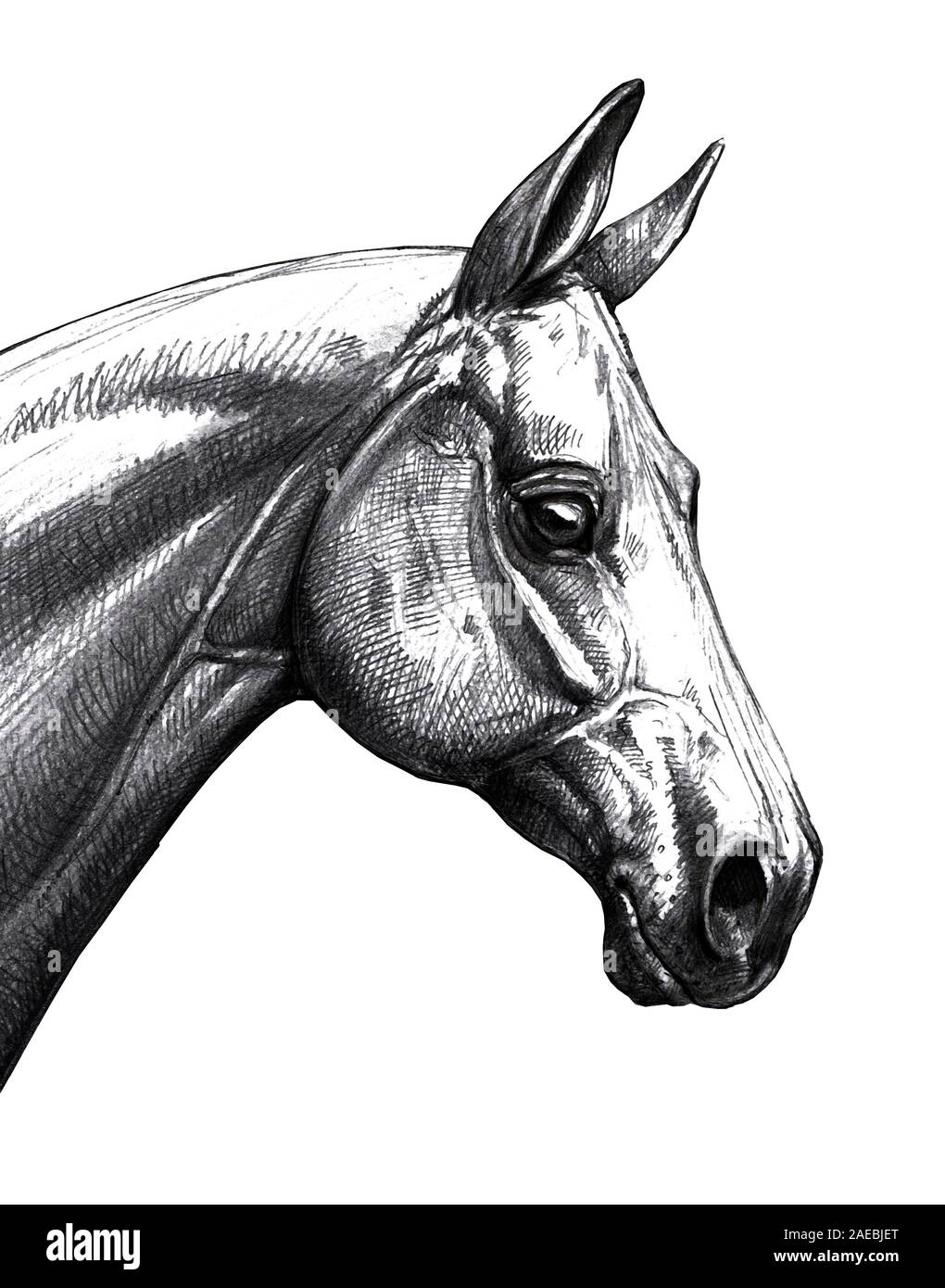 Horse Head Illustration Pencil Portrait Of A Horse Equine Drawing Stock Photo Alamy