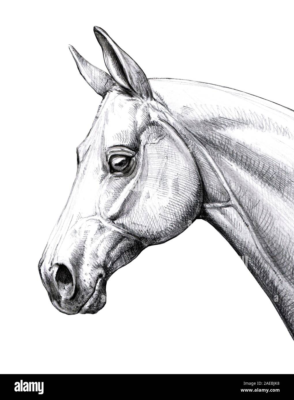 Horse Head Drawing High Resolution Stock Photography And Images Alamy