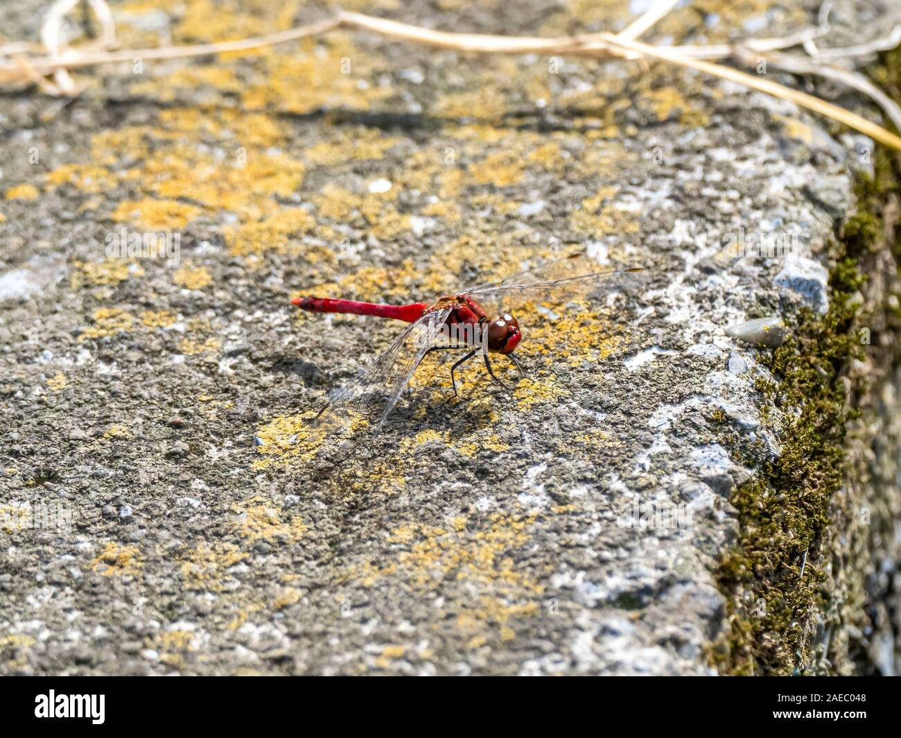 A scarlet skimmer dragonfly, Crocothemis servilia, rests on the concrete divider between Japanese rice fields near Yokohama, Japan. Stock Photo