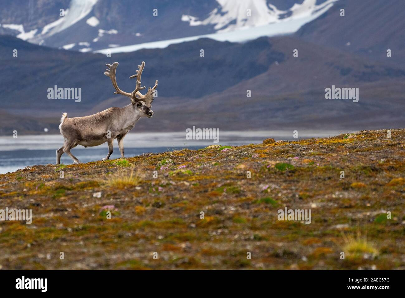 A male Svalbard Reindeer (rangifer tarandus platyrhynchus) on the tundra in summer with his antlers still in velvet. This herbivorous mammal is the sm Stock Photo