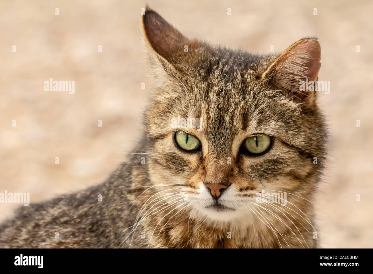 Close-up street cat portrait of European Shorthair breed Stock Photo