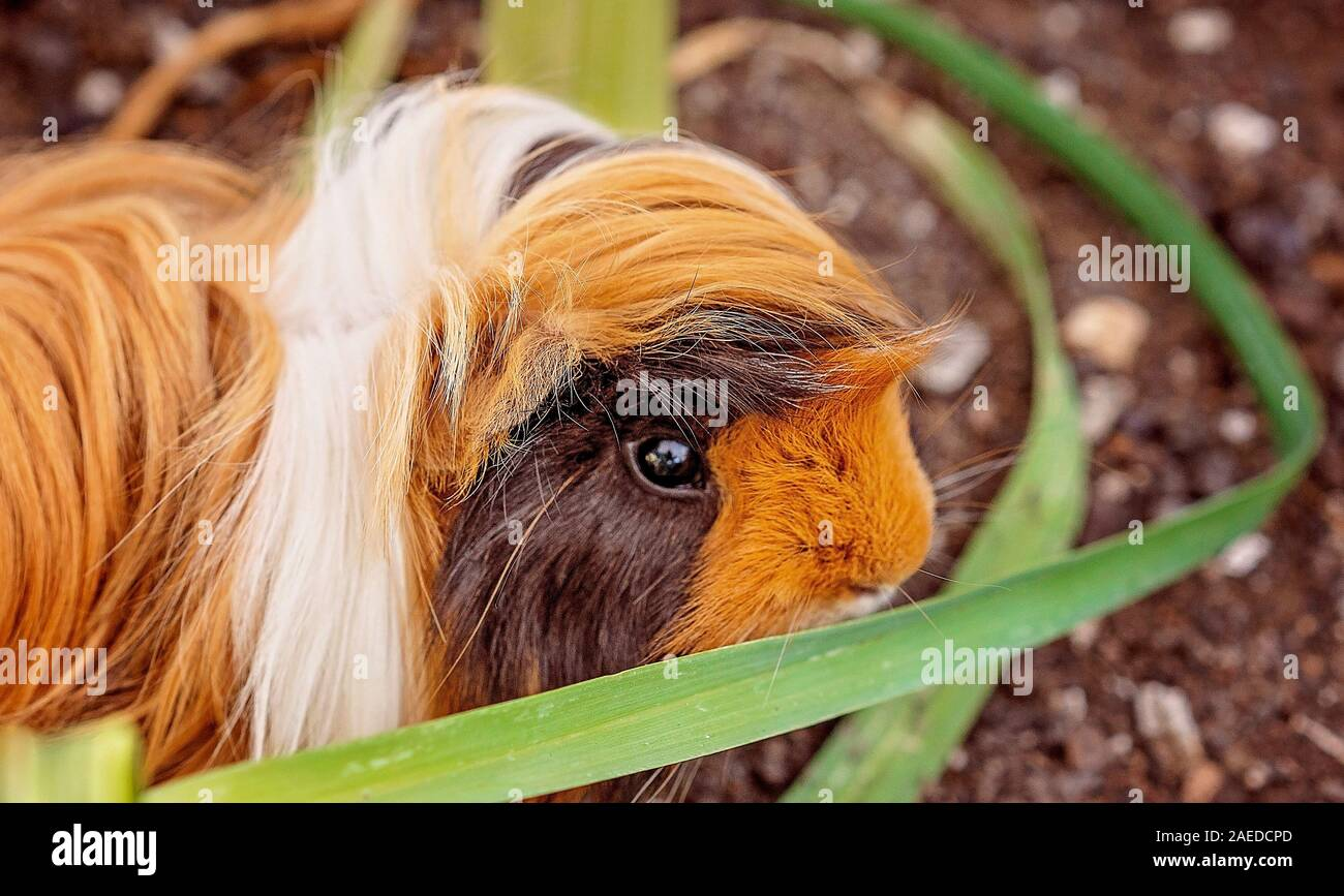 Picture of: A Cute Guinea Pig Also Known As A Cavy Exploring A Backyard Vegetable Garden Bed Stock Photo Alamy