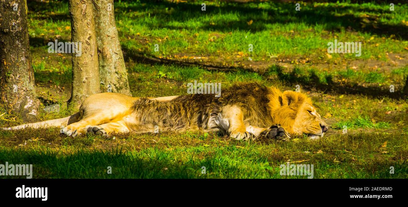 closeup of a male Asiatic lion sleeping in the grass, Endangered animal specie from India Stock Photo