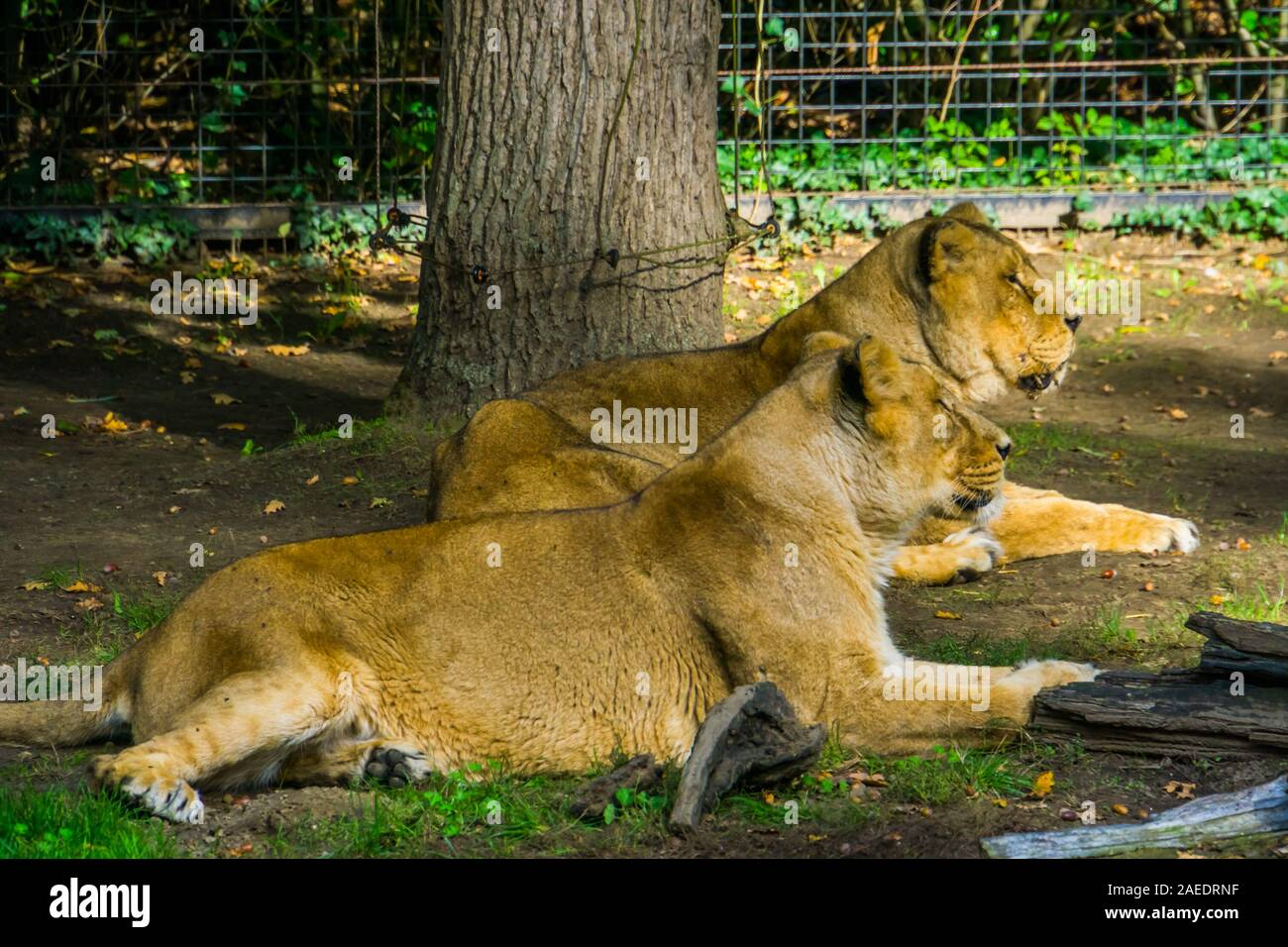 Female Asiatic lion couple laying together on the ground, Wild tropical cats Stock Photo