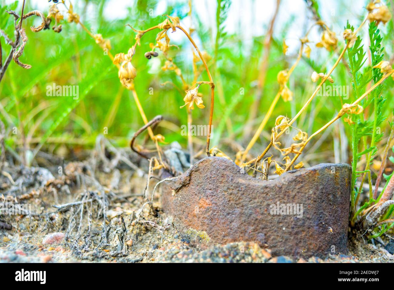 Close Up Of Orange Seed Capsules Of Ordinary Moss Among Dry And