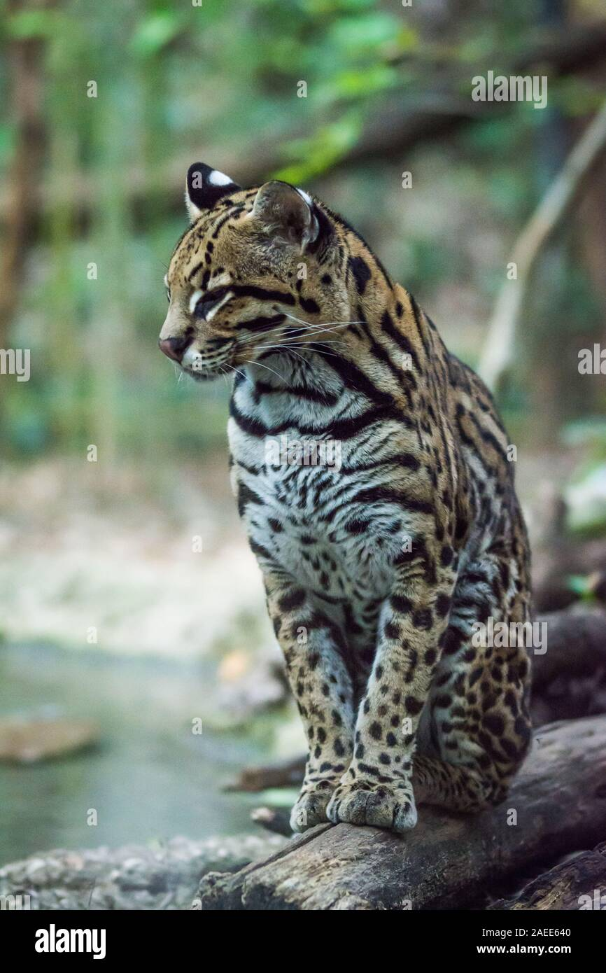 The ocelot (Leopardus pardalis) is a wild cat found extensively to South America, as well as the islands of Trinidad and Margarita, Central America, a Stock Photo