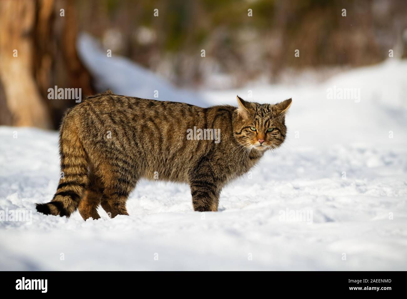European wildcat and his penetrating look in the snowy forest Stock Photo