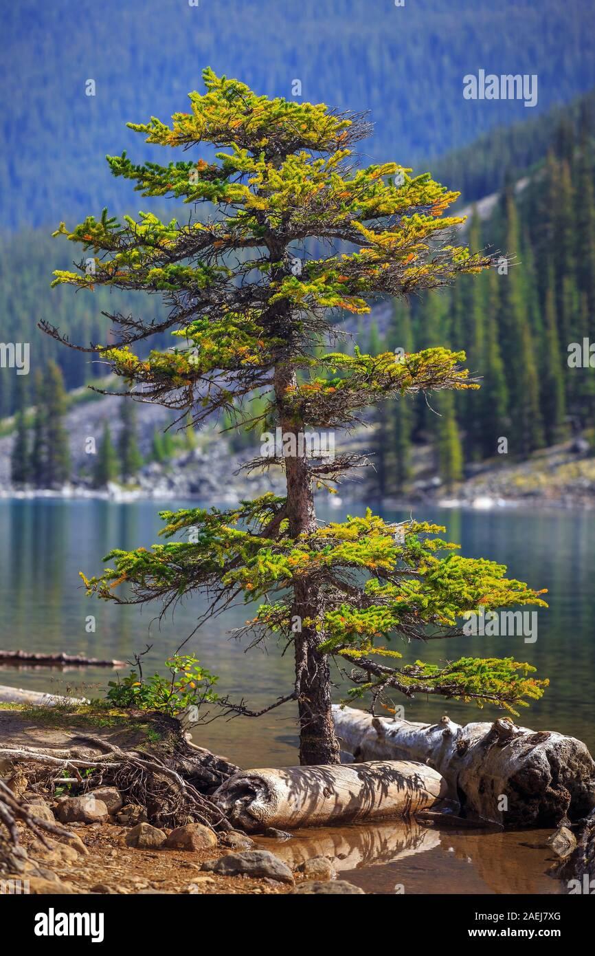 Lone coniferous tree growing in water, Moraine Lake, Banff National Park, Alberta, Canada. Stock Photo