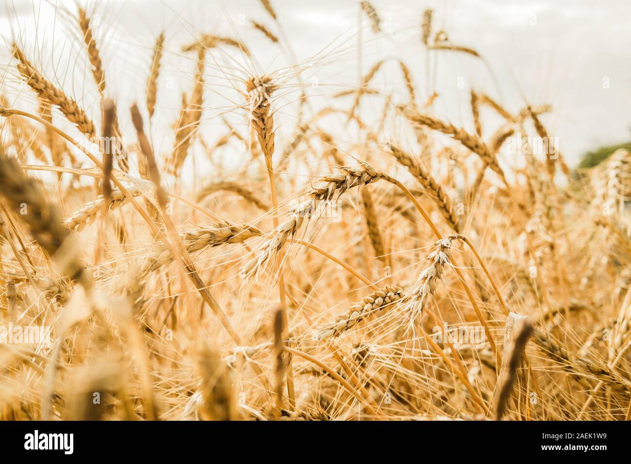 Spikelets Of Wheat Close Up On A Background Of A Golden