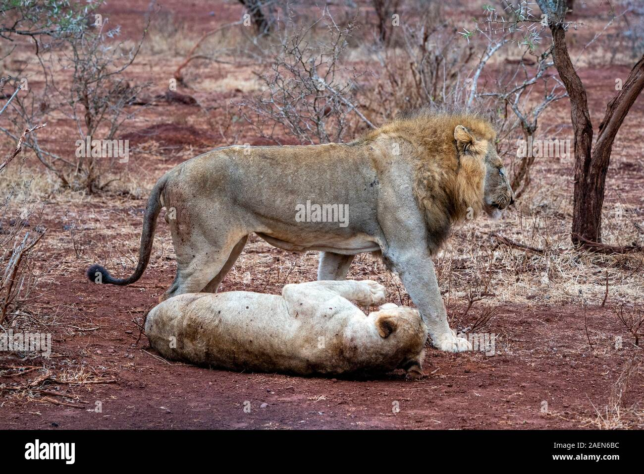 mating season for lion and lioness in kruger park south africa Stock Photo