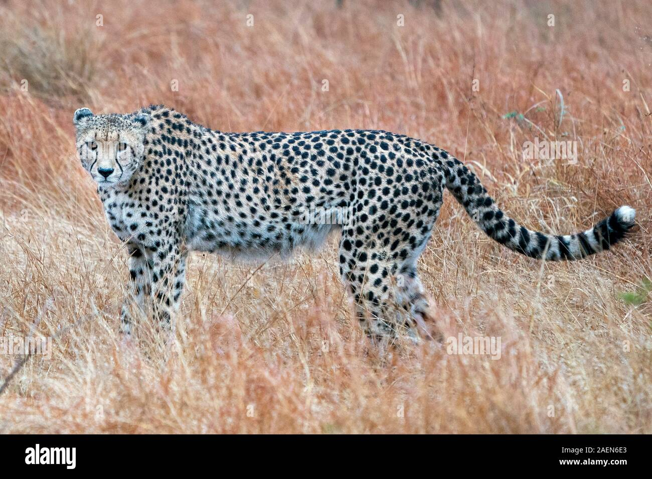 hunting cheetah portrait in kruger park south africa close up Stock Photo