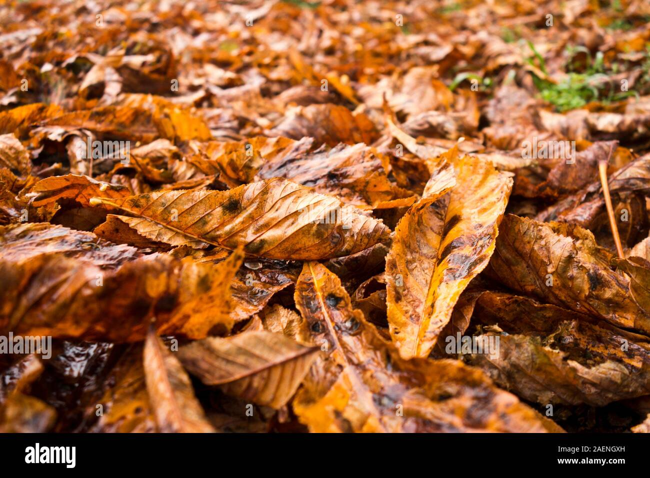 background of autumn leaves covering the ground Stock Photo