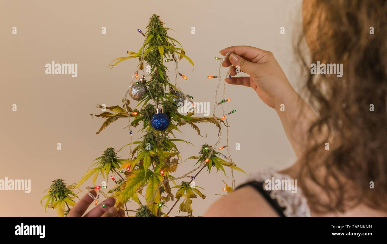 The Young Person Decorates Medical Marijuana Plant Growing Indoor Concept Of Alternative Christmas Tree Herbal Medicine Stock Photo Alamy
