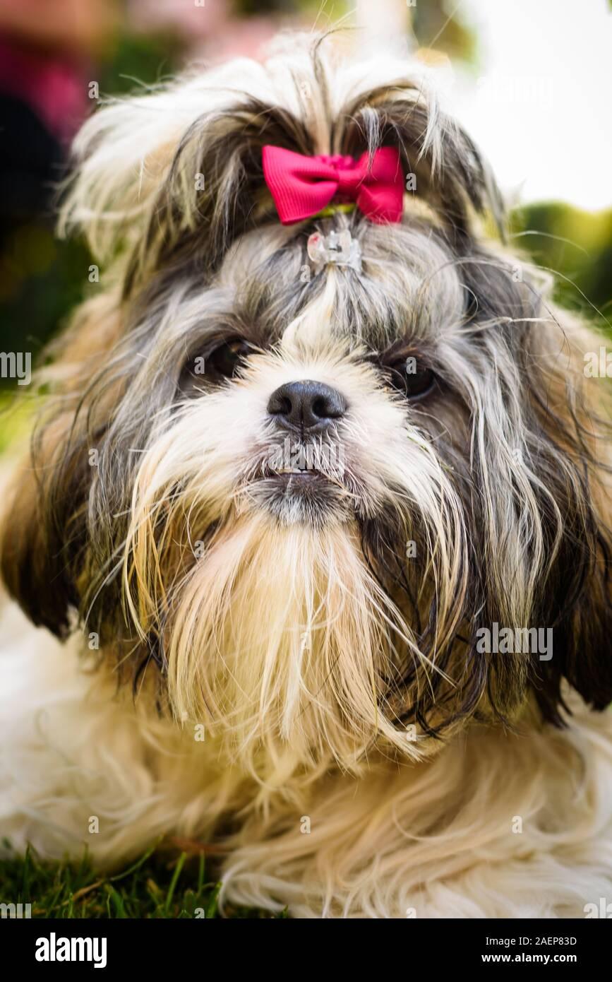 Shih Tzu Dog With Red Bow On Head Portrait Stock Photo Alamy