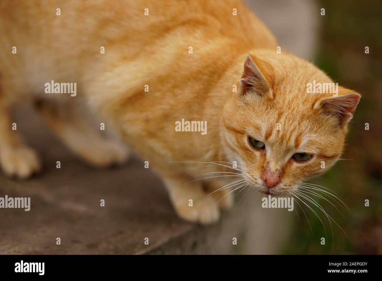 Portrait of a red cat on the street, attentive look. Stock Photo