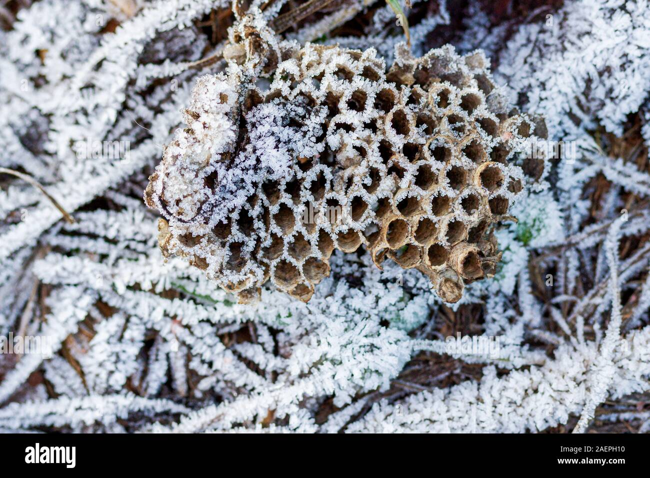 wasp nest with honeycombs covered with hoarfrost Stock Photo