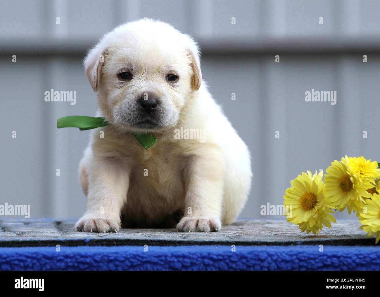 A Nice Cute Little Labrador Puppy On A Blue Background Stock Photo Alamy
