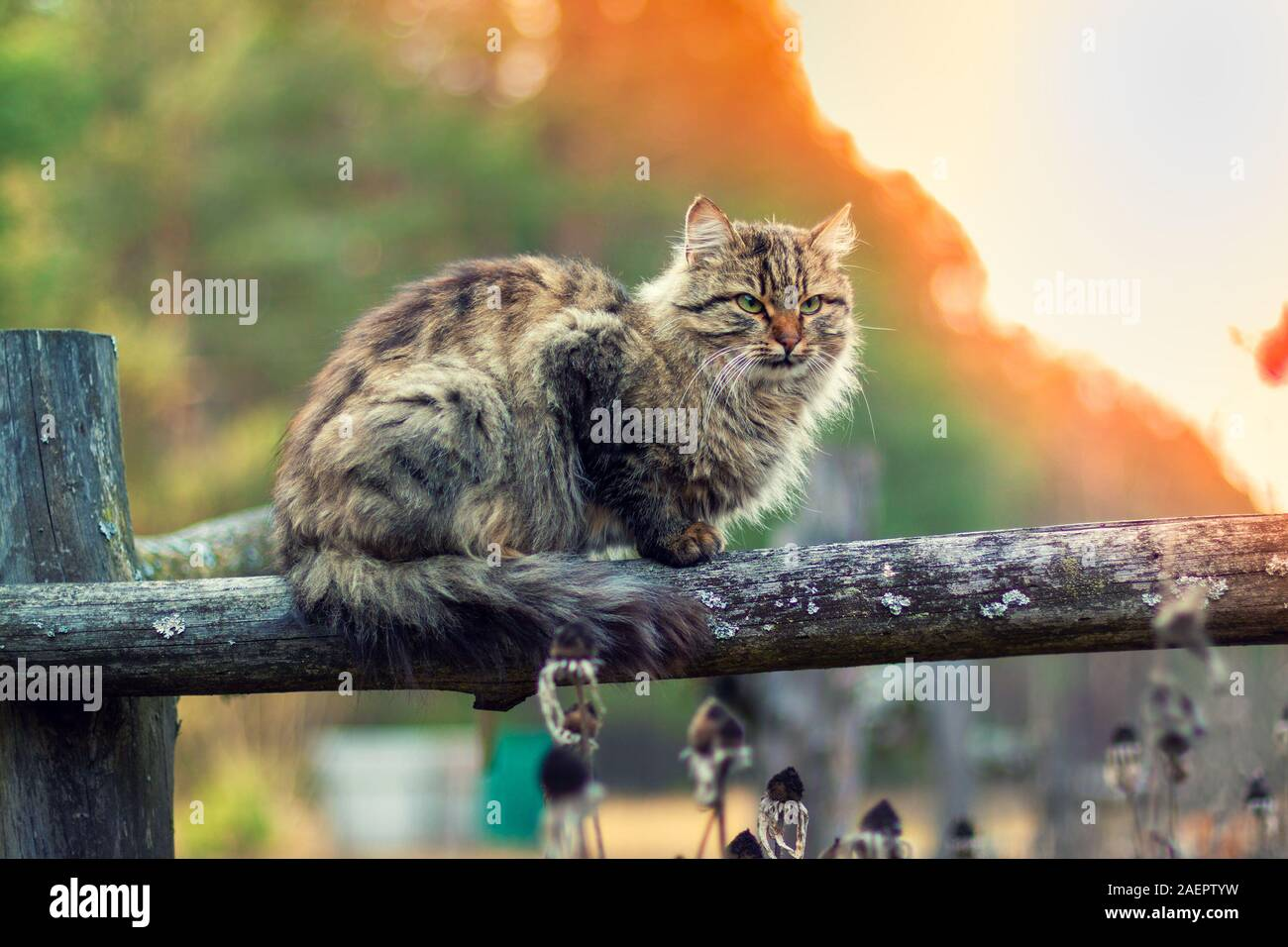 Siberian cat sitting on a wooden fence. Longhair cat outdoors in the countryside in summer Stock Photo