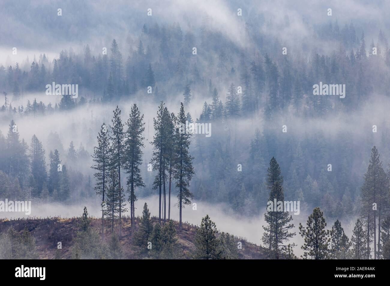 of the Misty Mountains Dukl/' Young Spruce