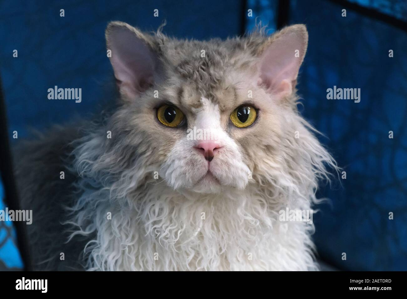 A pedigree cat which participates into LCA Cat Exhibition is shown in Shenyang city, northeast China's Liaoning province, 3 November 2019. *** Local C Stock Photo