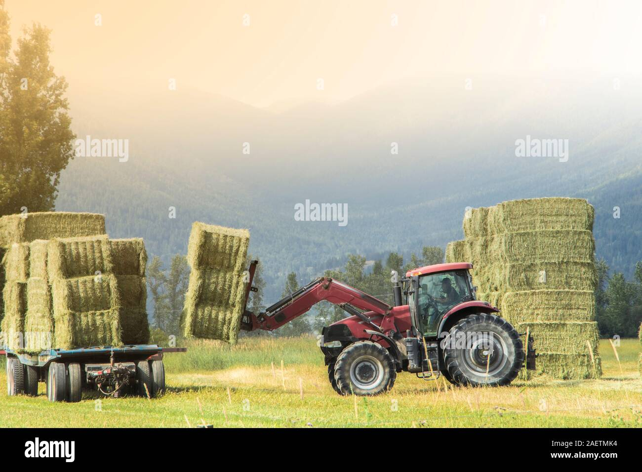 A farmer loads bales of straw to an attachment truck with farm tractor in the field Stock Photo
