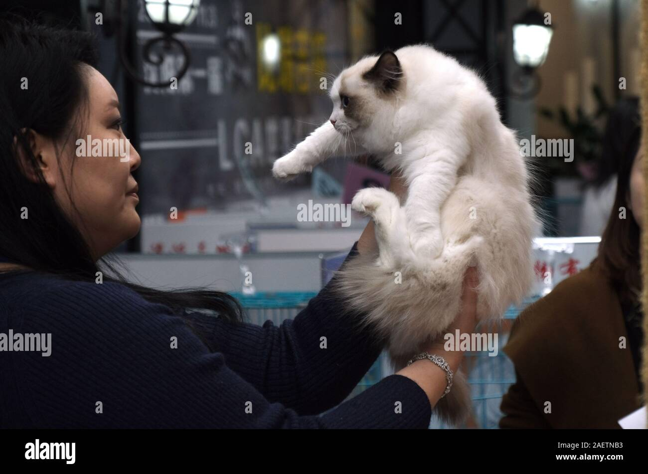 A pedigree cat is measured by a referee to see how pureblood it is at LCA Cat Exhibition in Shenyang city, northeast China's Liaoning province, 3 Nove Stock Photo