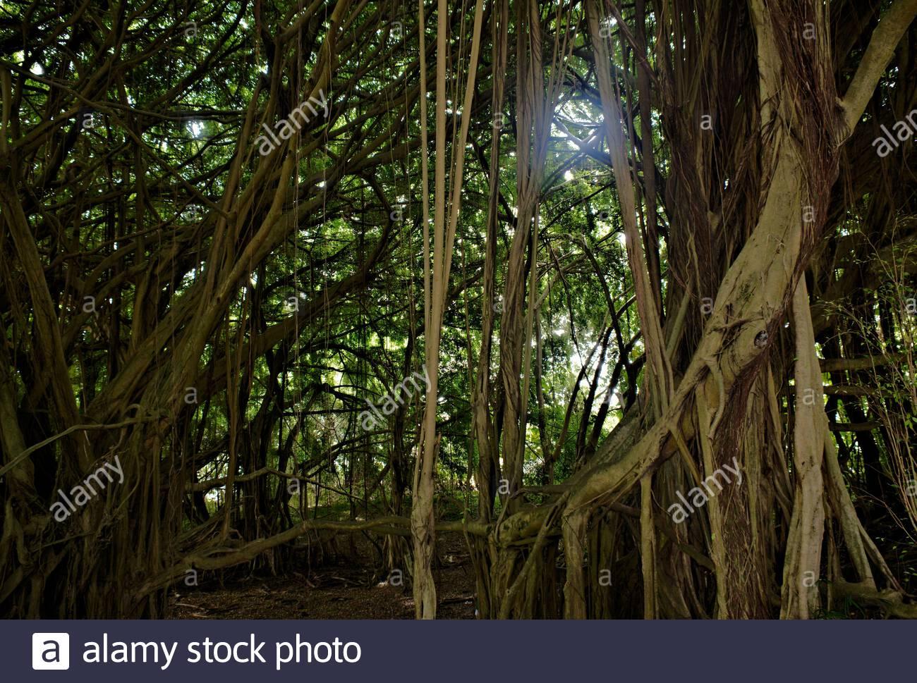 Banyan tree near Rainbow Falls Hilo Big Island Hawaii Stock Photo